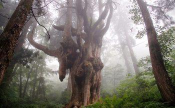 Chichi-sugi Cedar Tree of Iwakura