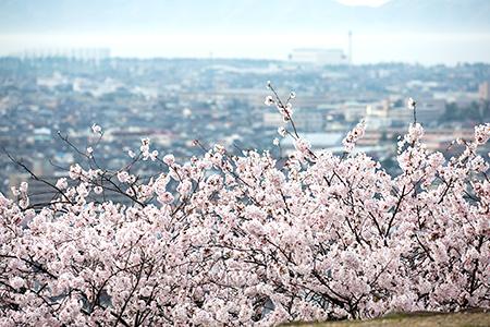山陰各地の桜スポット