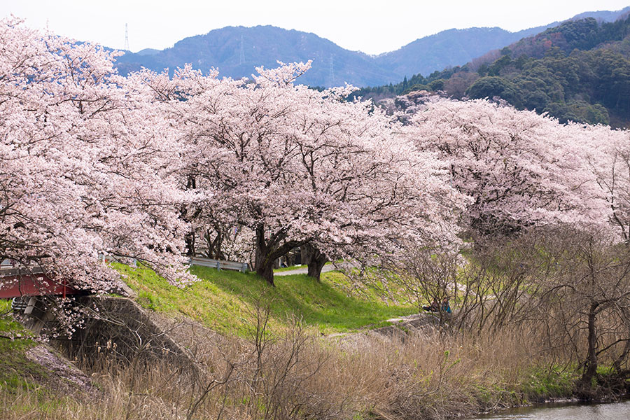 法勝寺川土手の桜