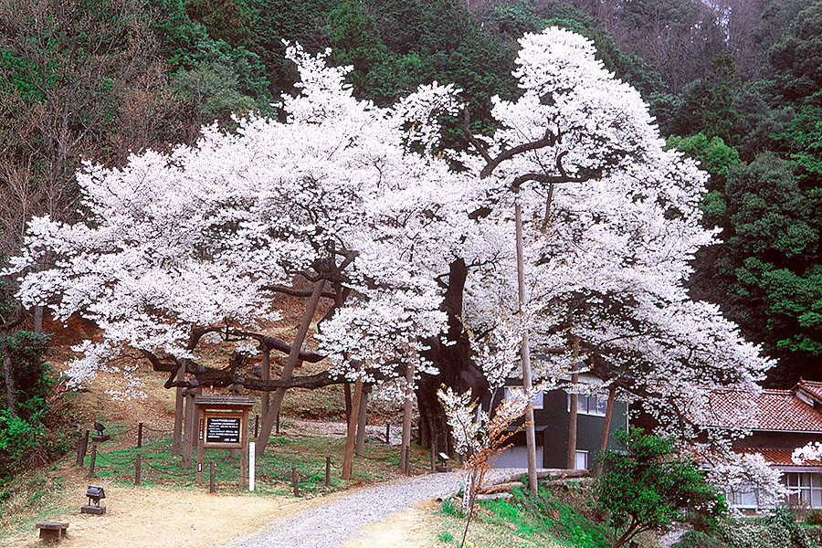 Misumi Ohira Cherry Tree