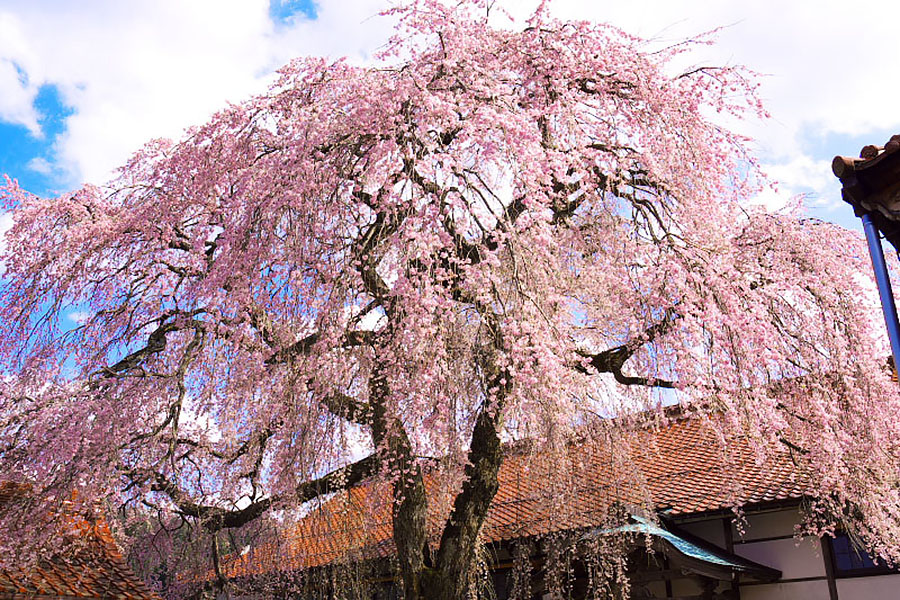 Weeping Cherry Tree at Gokurakuji Temple