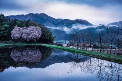 (17) 張戸お大師桜